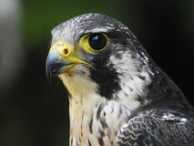 Profile of a gray falcon photo of a soul royalty free stock image