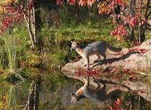 Profile of gray fox Stock Image