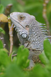 Profile of a Gray Iguana in the Top of a Bush Stock Images