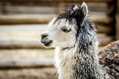 Profile of a gray-white lama. Profile of a fluffy gray-white lama Royalty Free Stock Photos