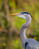 Profile of Great blue heron Royalty Free Stock Photography