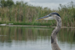 Profile of Great Blue Heron Stock Photography