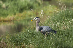 Profile of great blue heron. Stock Image