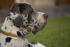 Profile of Great Dane Royalty Free Stock Photography