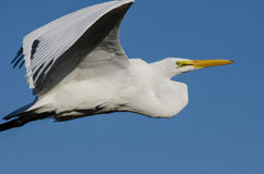 Profile of Great Egret Flying in a Blue Sky Royalty Free Stock Photo