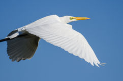 Profile of Great Egret Flying in a Blue Sky Royalty Free Stock Photos