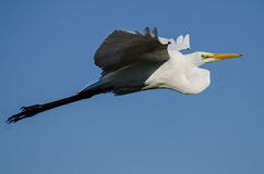 Profile of Great Egret Flying in a Blue Sky Stock Images