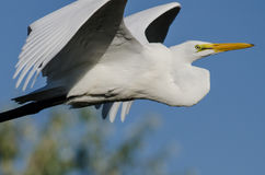 Profile of Great Egret Flying in a Blue Sky Royalty Free Stock Photography
