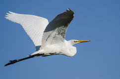 Profile of Great Egret Flying in a Clear Blue Sky Stock Photography