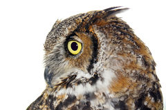 Profile of a Great Horned owl on white Stock Images