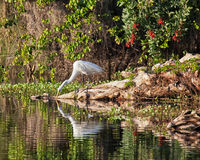 Great white egret Stock Photos