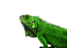 Profile of a green Iguana Royalty Free Stock Image