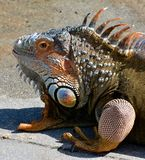 Profile of green iguana in south Florida. On sunny day Stock Photography
