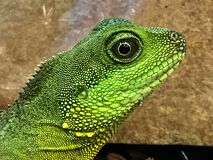 Profile of green lizard royalty free stock photo