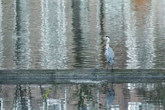 Profile of grey heron standing in rippling water and hunting Royalty Free Stock Photo