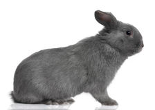 Profile of a grey lop Rabbit (8 months old) Royalty Free Stock Photos