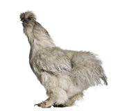 Profile of Grey Silkie hen, standing Royalty Free Stock Photography