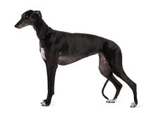 Profile of Greyhound dog standing
