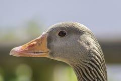 Profile of Greylag goose head. Profile of Greylag goose (Anser anser) head Stock Photo