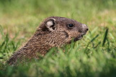 Profile of Groundhog Stock Image