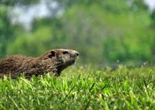 Groundhog Profile. Profile of a groundhog or woodchuck in the grass with a blurred green background and copy space stock image