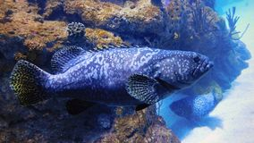Profile of a Grouper Fish stock photos