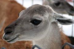Profile. Guanaco in the Feldman Ecopark. royalty free stock image