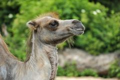 Profile of a hairy camel in green vegetation stock photos