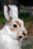 Profile of a hare. One young white rabbit with long ears Stock Image