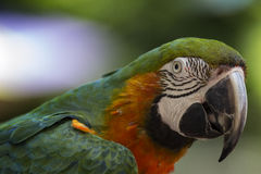 Profile of a harlequin macaw. A detailed profile head shot of a harlequin macaw parrot Stock Images