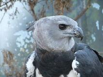 Profile of Harpy eagle. Stock Photos