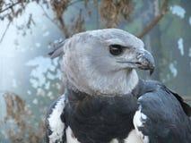 Profile of Harpy eagle. Stock Photos