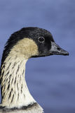 Profile of the Hawaiian goose (Nene). Close up of a nene (Branta sandvicensis), also known as nēnē and Hawaiian goose. Shown in profile and isolated against a Royalty Free Stock Photo