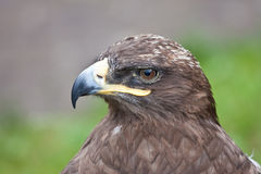 Profile of a hawk. Watching for prey stock images