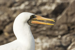 Profile of the head of an adult nazca booby with saw-toothed bill. Stock Photos