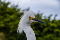 Profile Head Photograph of a Snowy Egret Bird. A snowy egret with its head feathers puffed out is not shy when it comes to tourists taking photos at Sea World in royalty free stock photos