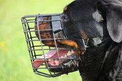 Profile of the head of a rottweiler dog with a mesh muzzle. A rottweiler dog with a mesh muzzle Stock Photos