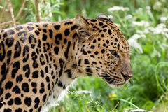 Profile Head Shot of Back Lit Amur Leopard Royalty Free Stock Photos