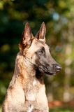 Profile headhshot of a Belgian Malinois. Profile of a beautiful purebred Belgian Malinois dog sitting at attention Royalty Free Stock Photo