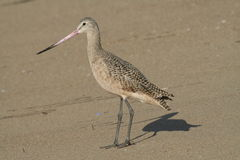Profile of a healthy Marbled Godwit. Marbled Godwit foraging on beach royalty free stock photo