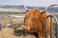 Profile of Highland Cow eating straw from Cattle feeder stock photography