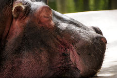 Profile of a Hippopotamus Stock Photo