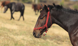 Profile of a horse. In front of the herd of horses Royalty Free Stock Photos