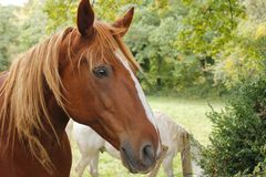 Profile of Horse Stock Photography