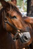 Profile of a Horse Face. A profile of a horse face with walking bridle Royalty Free Stock Images
