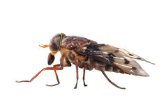 Profile of Horse Fly Isolated on White Stock Photography