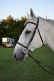 Profile of a horse. Profile of the head of a white horse wearing a brown bridle and bit Royalty Free Stock Photos