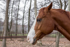 Profile of a horse Royalty Free Stock Image