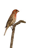 Profile of house finch sitting on a branch Royalty Free Stock Photos