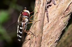 Profile of a hoverfly Stock Photography